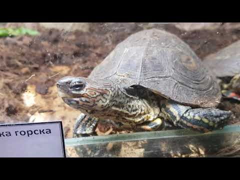 A pair of Neotropical painted wood turtles