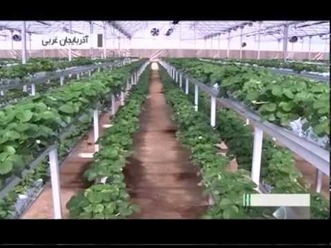 Iran West Azerbaijan province, Greenhouse fruits پرورش ميوه گلخانه اي آذربايجان غربي ايران