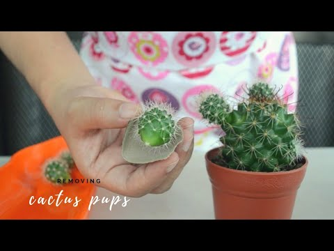 How to Remove Cactus Pups from Mammillaria and Opuntia Microdasys