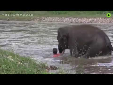 Baby elephant thinks the man is drowning and jumps in to rescue him