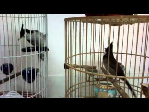chào mào ché nhiều 1 -Kênh về chim Chào mào của Triệu Triệu