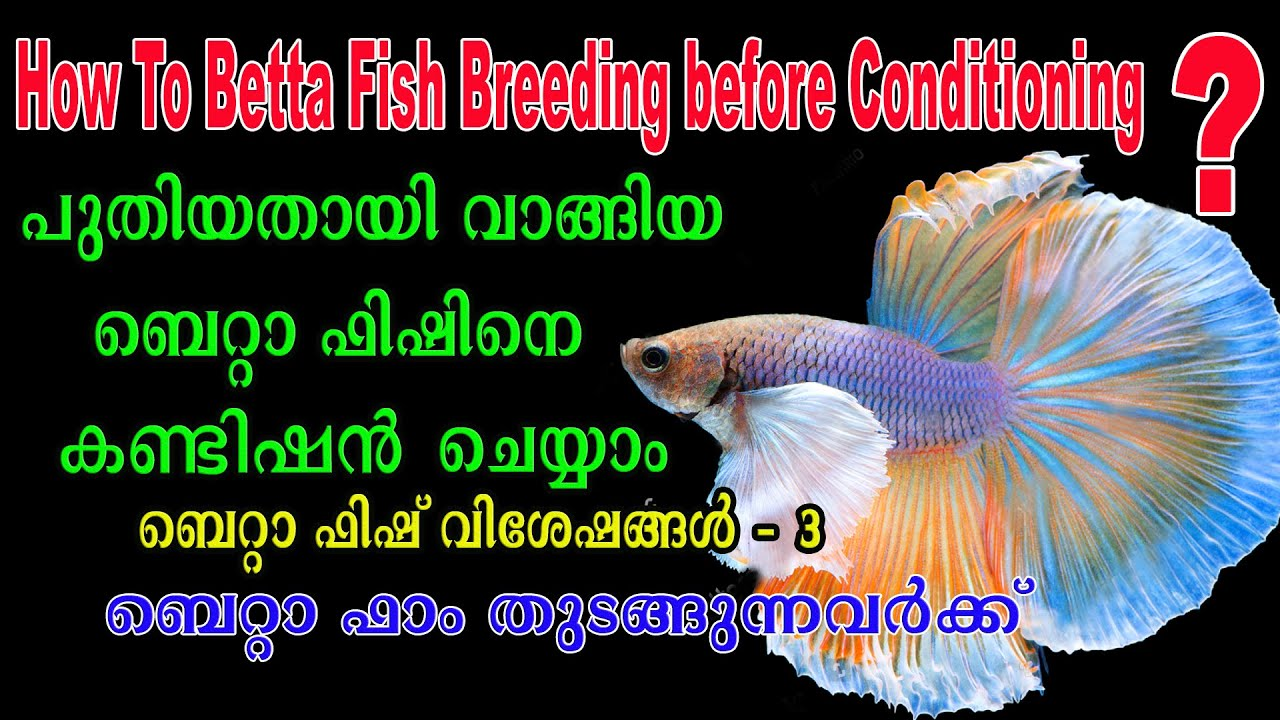 Betta Fish Breeding Conditioning / Betta Fish Aqua Tips / Malayalam / Aqua Tales / Das Intermedia