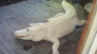Rare Blue Eyed Albino Alligator