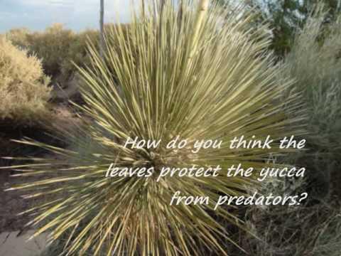 Desert Plant Adaptations.wmv - YouTube