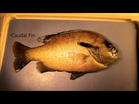 Fish Fins: Proper Terminology & Basic Functions