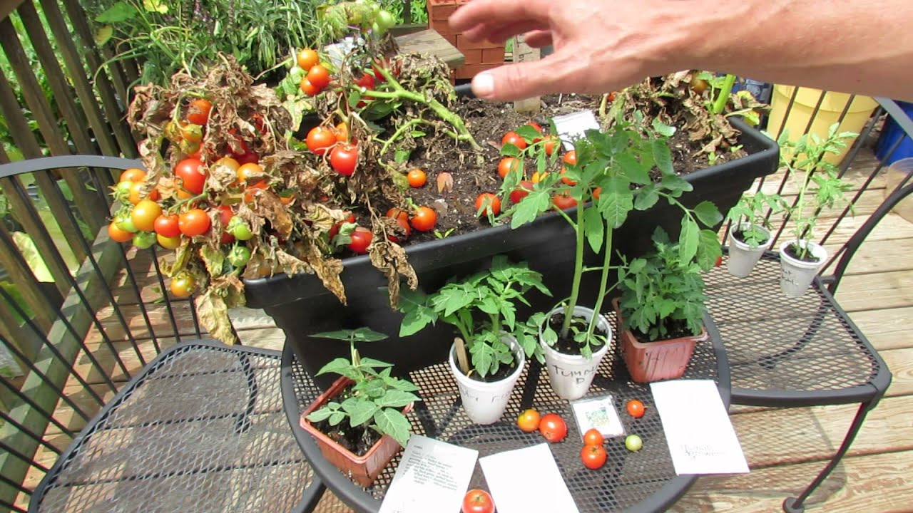 how to grow 12 inch or so dwarf container tomatoes variety types