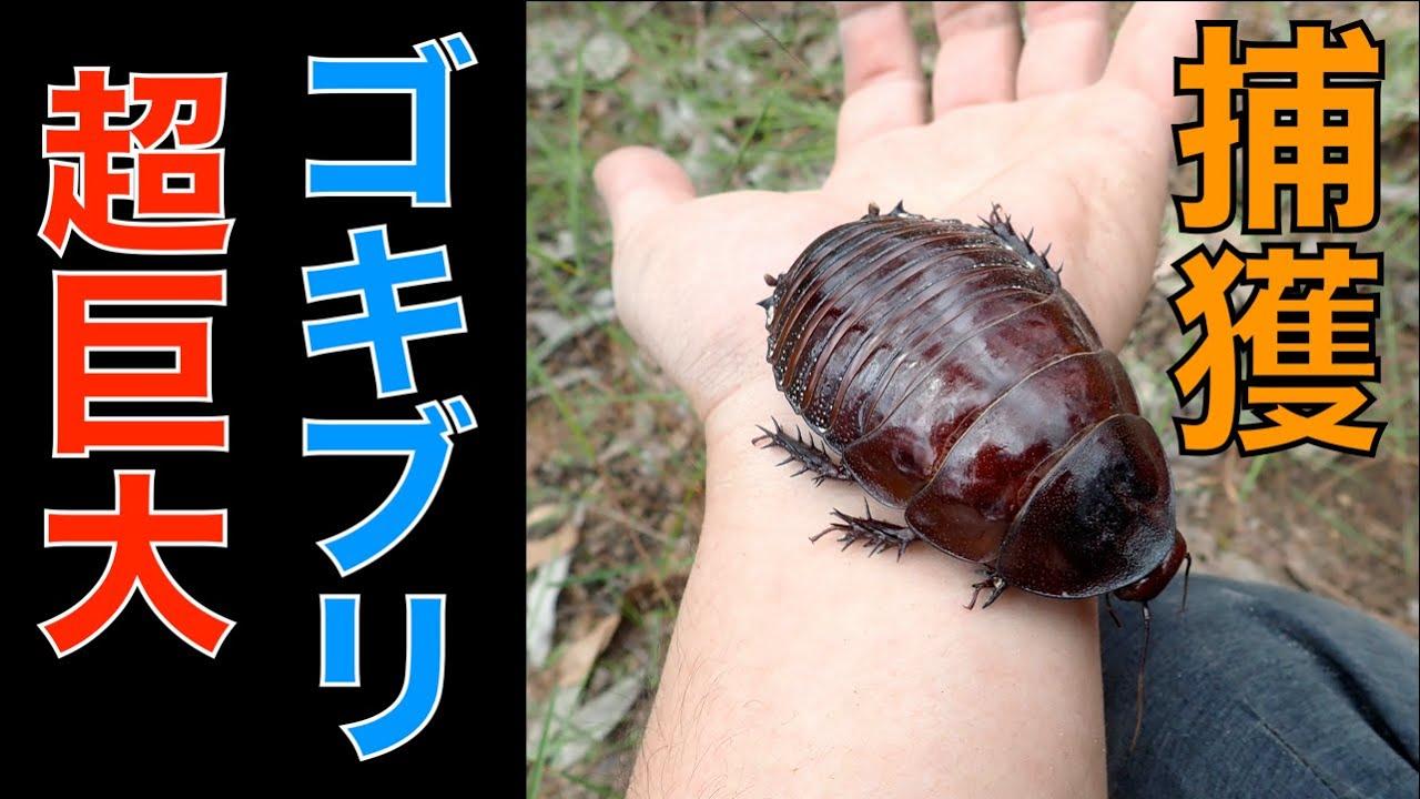 世界最大のゴキブリ『ヨロイモグラゴキブリ』を捕まえる/オーストラリア【なぜかカブトムシも採れた】Catch world biggest roach, GIANT BURROWING COCKROACH