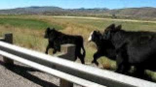 リアルカウボーイが牛を追ってる横で、自転車で追ってみた。