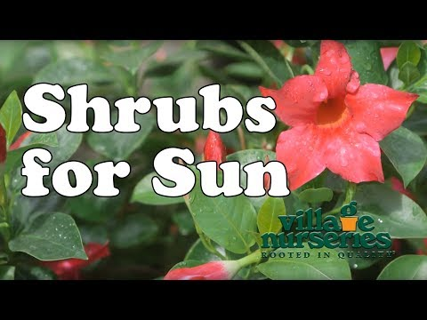 Shrubs for Sun - Village Nurseries