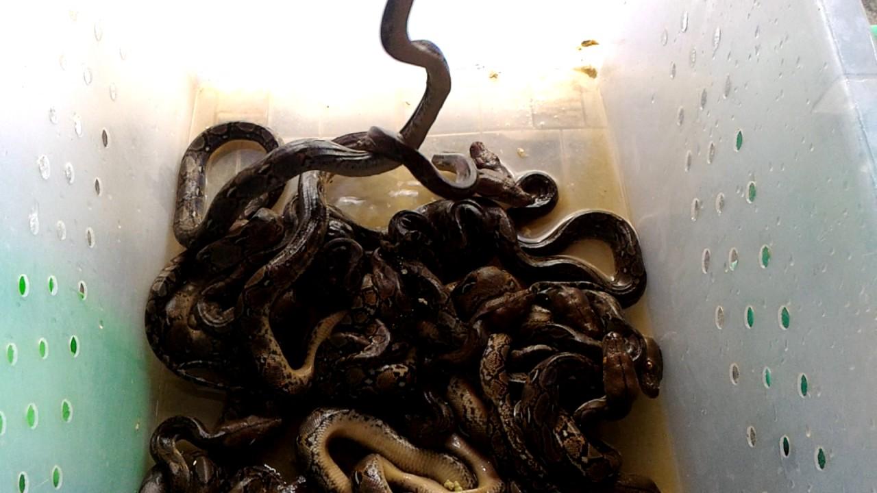 Cara Ngasih Makan Ular Sanca Kembang Reticullatus Python Youtube
