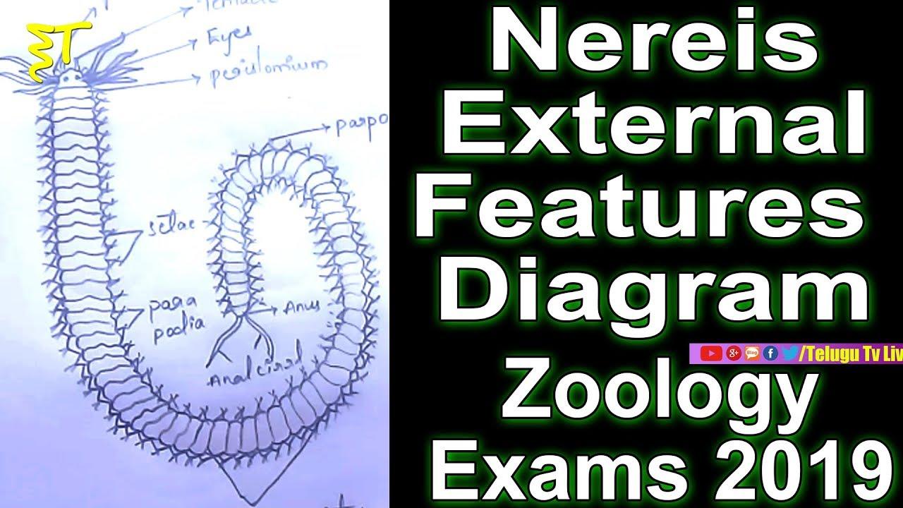 Nereis External Features Diagram  Zoology  Diagrams
