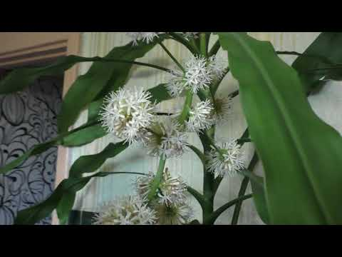 Драцена душистая ,комнатное растение