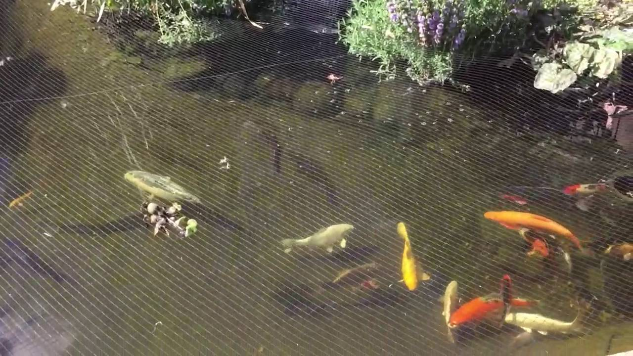Koi Pond Crystal Clear Water