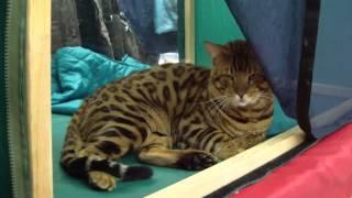 Бенгальская кошка (Бенгалы)
