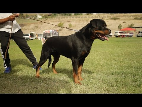 SIEGER THE ULTIMATE CONFORMATION SHOW FOR WORKING DOGS