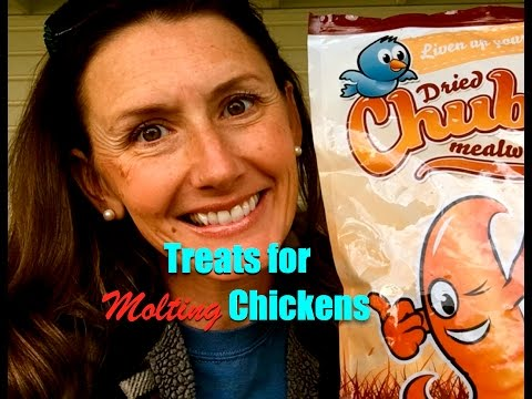 Treats for Molting Chickens~