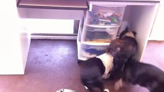 Boston Terrier Rat Hunters - Ewwwwww