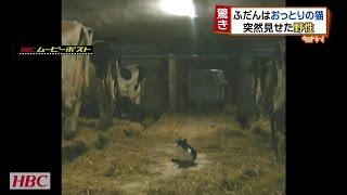 (2016.11.14OAのニュース) 牛舎にたたずむ猫のレン君。 普段はおとな...