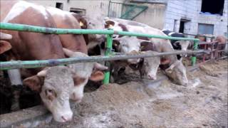 Byki, Bulls, Stiere, býci, taureaux, быки, touros, toros