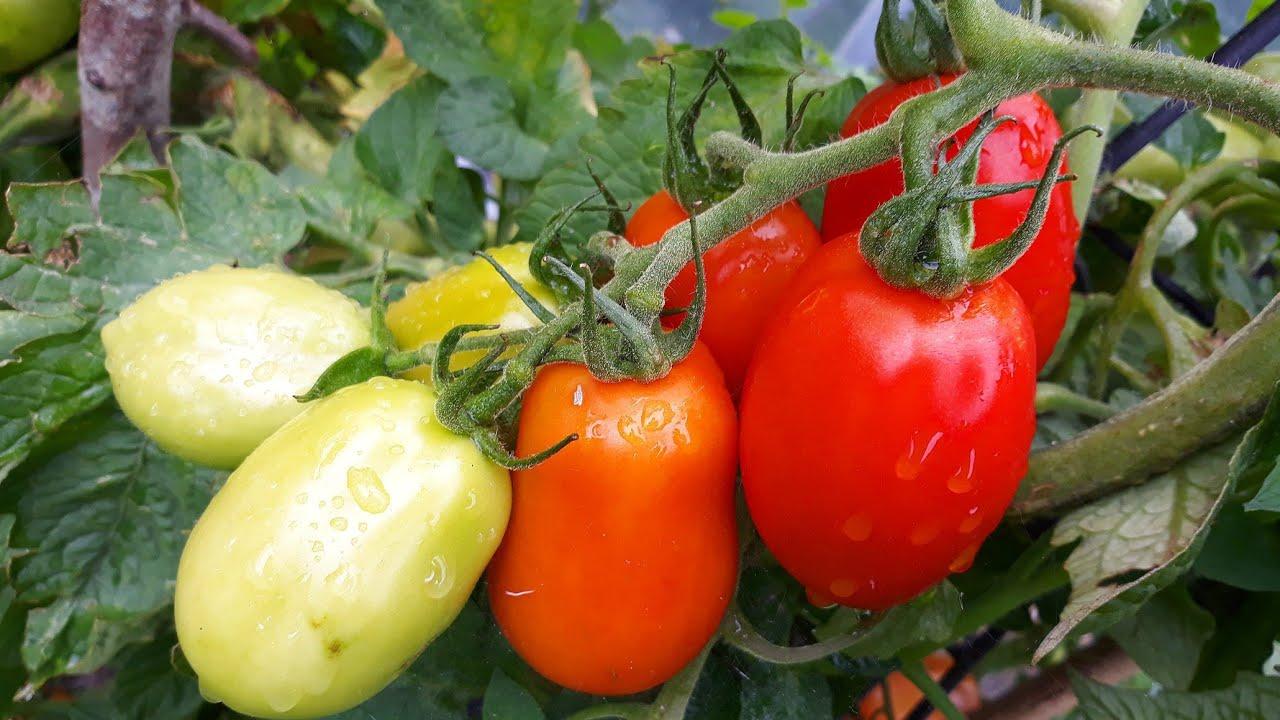 tomaten und paprika im k bel youtube