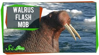 Walrus Flash Mob & 20 Years of Pot Research