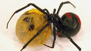 Redback Spider Egg Sac Whats Inside Is SCARY