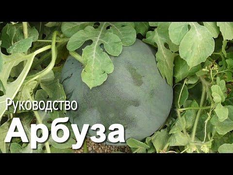 Туи (Thuja) купить по лучшей цене в Украине. Саженцы туй