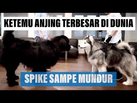 SPIKE Ketemu Anjing TERBESAR Di Dunia - VLOG ( MALAMUTE MEET NEWFOUNDLAND )