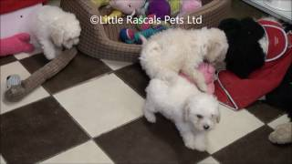 Little Rascals Uk Breeders New Litter Of Apricot Poochon Puppies