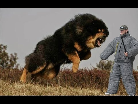 10 most dangerous dog breeds [Chinese, filipino, lao, russian, spanish, thai, vietnamese]