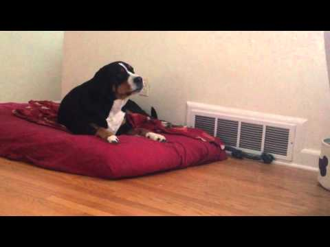 Lilo is jealous - Greater Swiss Mountain Dog