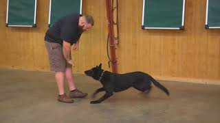 Hawk von Prufenpuden Black German Shepherd -1 Yr Obedience/Protection Trained Dog For Sale