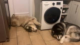 ALASKAN MALAMUTES ARE VERY CHILLED DOGS