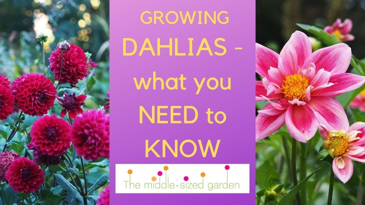 Growing Dahlias Everything You Need To Know About How To Choose