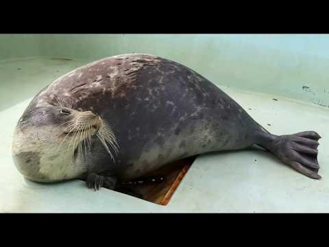 Reza for caspian seal
