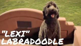 Lexi the Labradoodle Placing & Walking Around Massive Distraction