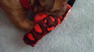 Dogue De Bordeaux Loves His Kyjen Toy