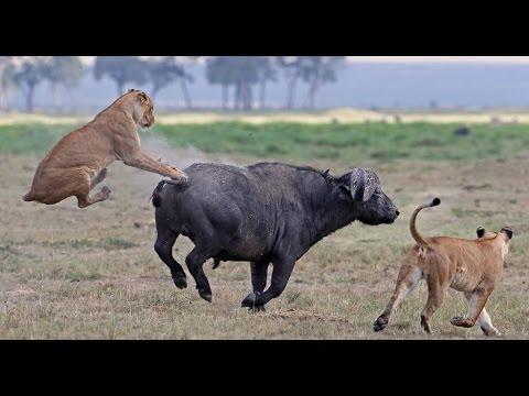 Buffalo get attacks from lions in front of camera - Wild Africa