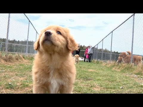Meet Nova Scotia's canine ambassador, the Duck Toller