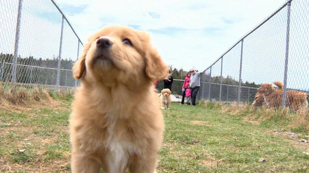 Meet Nova Scotia S Canine Ambassador The Duck Toller Youtube
