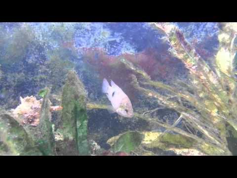 Jewelfish.