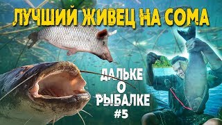 Лучший живец на сома | #Дальке о рыбалке 5