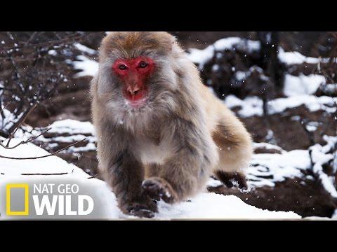 Les macaques des Monts Taihang de Chine