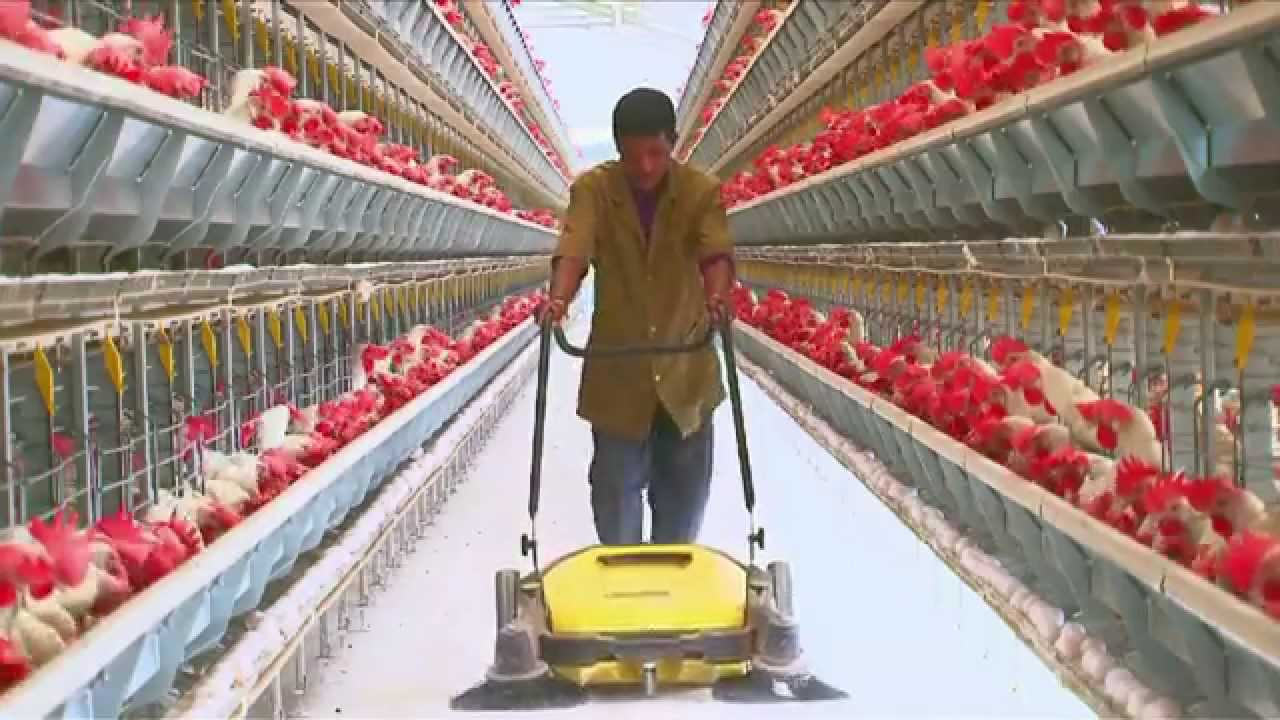Poultry Farming | Open House Battery Cage System | Egg Production in India