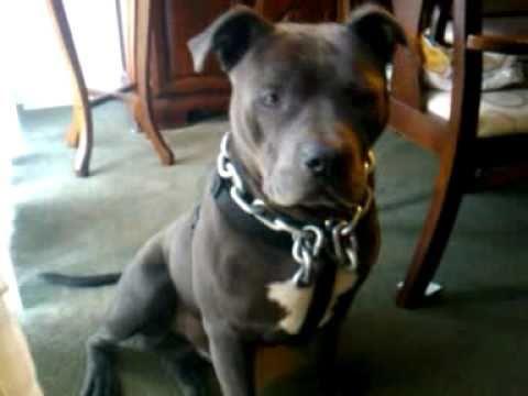 American pitbull terrier black nose