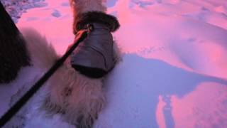 Westie Puppy Takes On Storm Juno In New York City