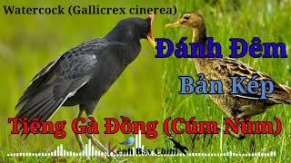 Download Tiếng Gà Đồng (Cúm Núm) Bản Kép Đánh Đêm, Cực Nhạy Với Gà Tơ - Water Cock Call Song | Kênh Bẫy Chim