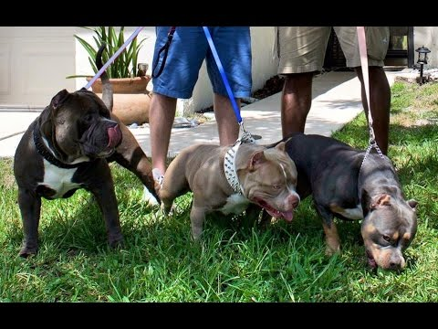 Texas Size Bullies Upcoming Breedings & Pups For Sale 2015