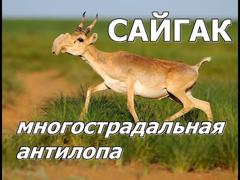 Вопрос: Кто такие антилопы, какие виды антилоп существуют?