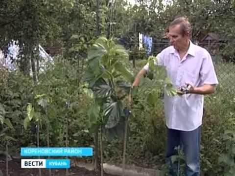 Вопрос: Можно ли вырастить шелковицу в Сибири?